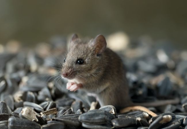 How Much Does Rodent Removal Cost Phoenix